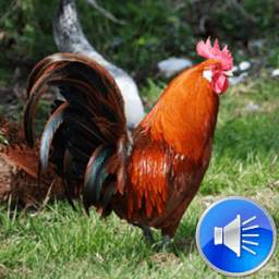 Rooster Sounds Ringtones