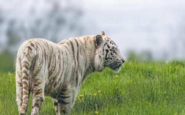 Tiger Live Wallpaper screenshot 3