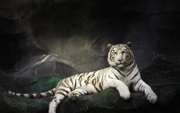 Tiger Live Wallpaper screenshot 2